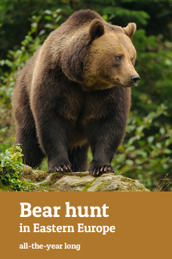 Bear hunt in Eastern-Europe