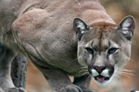 hunting Cougar in Argentina