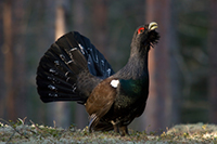 hunting Capercaillie in Sweden