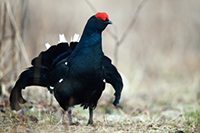 hunting Black Cock in Latvia