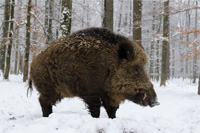 hunting Wild-boar in Spain